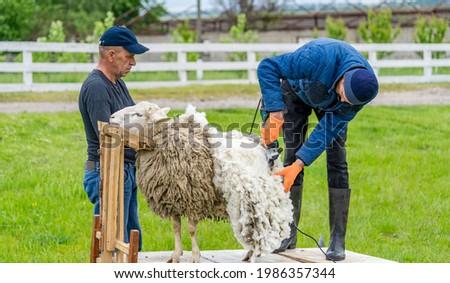 Man farmer shearing the sheep with sharp scissors. White wool trimming. Foto d'archivio ©