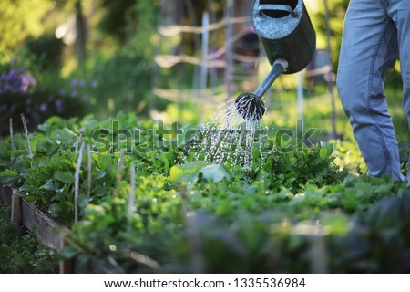 Man farmer watering a vegetable garden in the evening at sunset