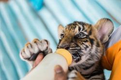 Man feeding baby tiger.