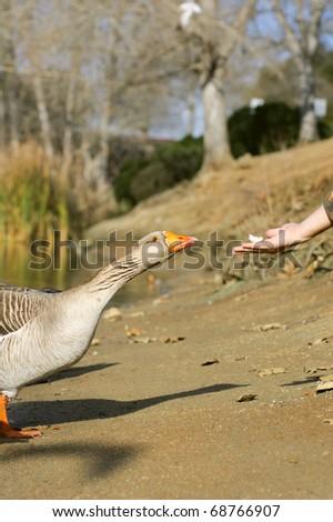 Man feeding the graylag goose near a pond (Anser anser) - stock photo