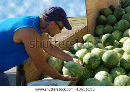 man grabbing fresh watermelon from trailer - stock photo