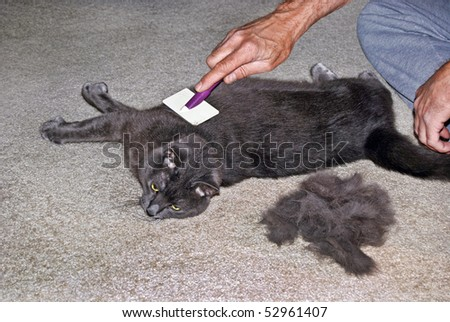 man grooming tomcat - stock photo