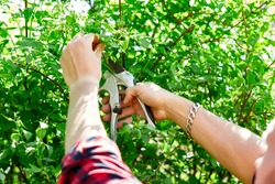 Man hands cuts branches of bushes with hand pruning scissors. Gardener trimming and landscaping green bushes. Concept of caring and beauty for the garden. Gardener trimming plants, topiary work.