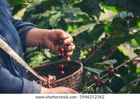 Man Hands harvest coffee bean ripe Red berries plant fresh seed coffee tree growth in green eco organic farm. Close up hands harvest red ripe coffee seed robusta arabica berry harvesting coffee farm