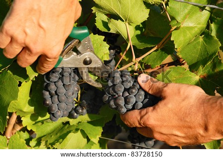 man hands harvesting grapes in french fields