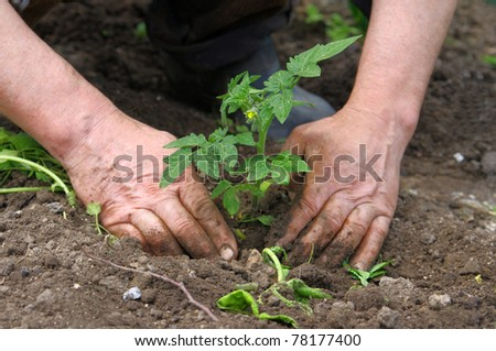 Man hands planting tomato seedlings
