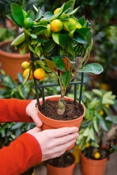 Man hands with calamondin citrus tree in plant pot. Calamansi also known as calamondin, Philippine lime or lemon, is an economically important citrus hybrid predominantly cultivated in the Philippines