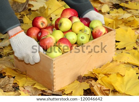 man hands with crate of fresh ripe apples in garden on autumn leaves