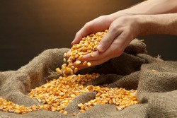 man hands with grain, on brown corn background