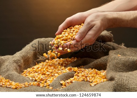 man hands with grain, on brown corn background - stock photo