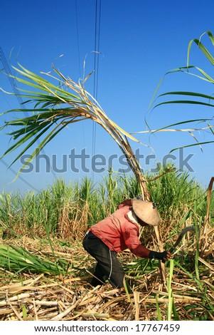 Man harvesting the sugarcane crop