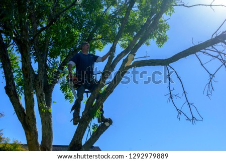 man high in ash tree attached to  safety rope cutting branches with gas powered chainsaw limb caught falling in midair with roof top and blue sky background