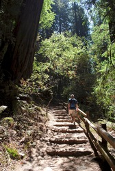 Man hiking up steps on Canopy View Trail (also called the Ocean View Trail) in Muir Woods National Monument in California. The trail climbs through thick sections of tall, straight, young redwoods.