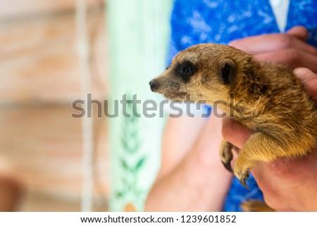 Man hold meerkat or Suricata suricatta on hands. Close-up hands and meerkat