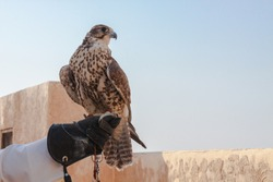 man holding his falcon before using it to hunt birds and rabbits on the desert.