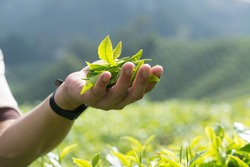 Man holding tea leaves in tea Plantation in the Cameron Highlands, Malaysia