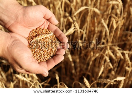 Man holding wheat grain in field on sunny day, closeup #1131604748