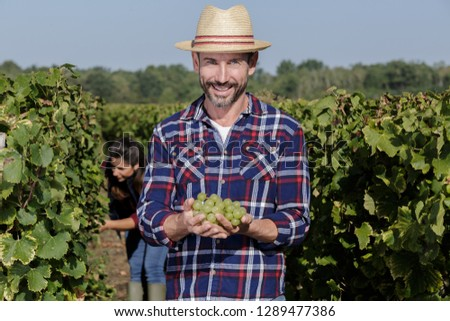 man holds a bunch of white grapes in vineyard #1289477386
