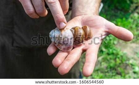 Man holds a snails in his hand. Helix Aspersa Muller, Maxima Snail, Organic Farming, Snail Farming
