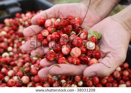 Man holds fresh ripe cranberries in hands