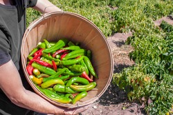 Man holds up bucket of fresh red and green hatch valley chile in Albuquerque, New Mexico, USA during the harvest of the chiles with farm in background