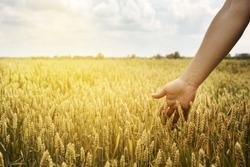 Man in beautiful wheat field with sunlight. Closeup of farmer's hand over wheat ears growing in summer. Sunset over golden crop field in countryside. Agricultural growth and farming concept.