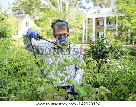 Man in face mask and gloves spraying insecticide on his tomato plants during a bad insect pest infestation.