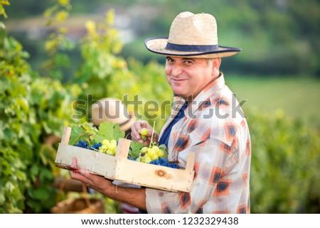 Man in Vineyard Harvesting Grapes #1232329438