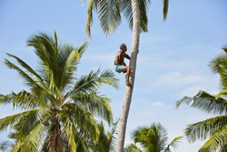 Man is climbing up to palm tree for harvest coconut.