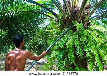 Man keep the oil palm  by spade Palm Oil Plantation. Palm oil to be extracted from its fruits.