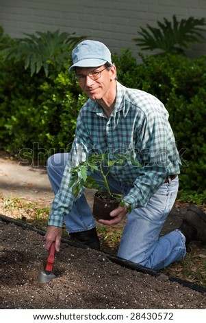 Man kneeling on the ground next to his freshly dug garden planting a large tomato plant.