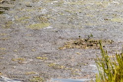 Man made storm water canal filled with wildlife and yellow green algae overgrowth blooms causing toxic fumes and an environmental hazard to Florida fish and native birds by choking the everglades flow