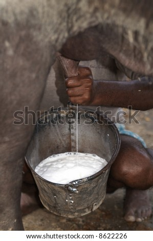 stock photo : Man milking a buffalo by hand into a bucket at the Sonepur livestock fair, Bihar, India