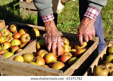 man moves the apple harvest