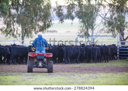 Man on quad bike with cattle