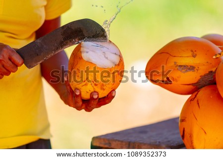 Man opening coconut shell of big yellow king coconut to enjoy amazing tasty traditional refreshment drink of Sri Lanka, exotic food on summer vacation