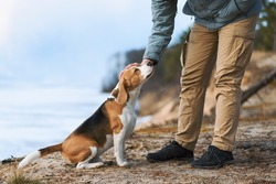 Man petting his dog friend. Beagle dog enjoying communication with his owner during outdoor walking