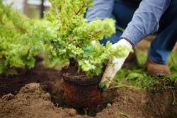 Man planting juniper plants in the yard. Seasonal works in the garden. Landscape design. Ornamental shrub juniper.