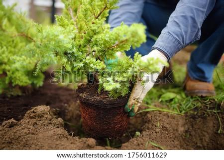 Man planting juniper plants in the yard. Seasonal works in the garden. Landscape design. Ornamental shrub juniper. Stock photo ©