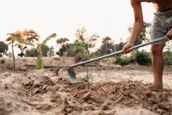 Man plants a small tamarind tree, hands holds shovel digs the ground garden. Farm and argiculture at countryside concept.