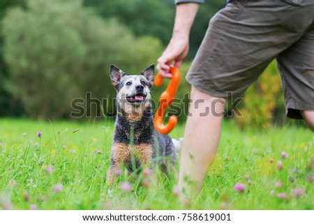 man plays with an Australian cattledog on a meadow #758619001