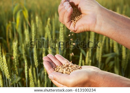 man pours wheat from hand to hand on the background of a wheat field #613100234