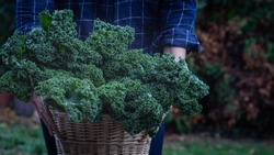 Man presenting basket with fresh kale outside on garden background, winter saeson green Superfoods