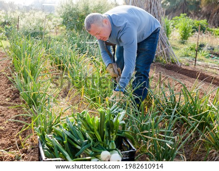 Man professional gardener picking green onion and use using mattock in garden outdoor Stock photo ©