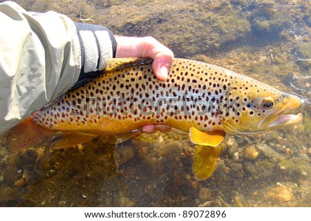 Man releasing a fish - Brown Trout caught fly fishing