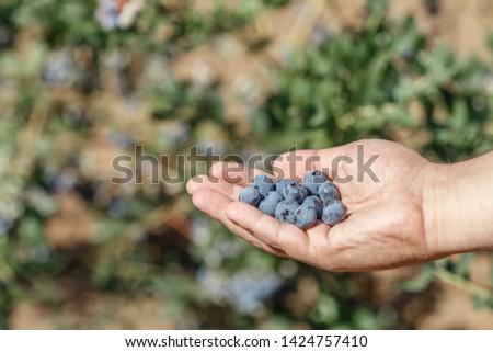 Man's hand full of freshly picked blueberries