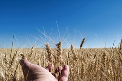 Man's hand with ears of dried barley in a cultivated field of said cereal