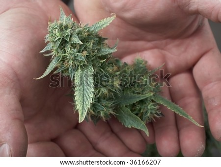 Man's hands holding fresh marijuana cannabis female bud