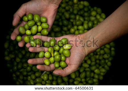 Man's hands holding green olives on top of a bucket after harvesting