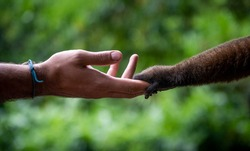 Man shaking hand with a chorongo monkey in the amazonian forest in Yasuni National Park, Ecuador